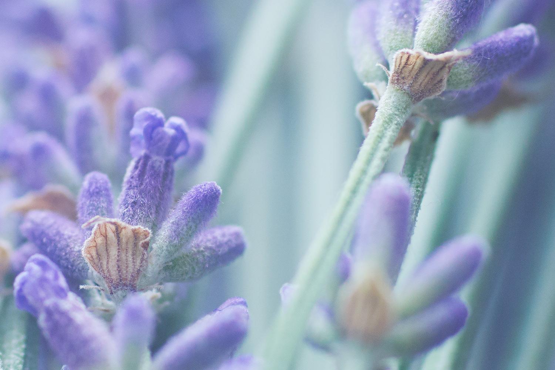 Lavendel_04_klein